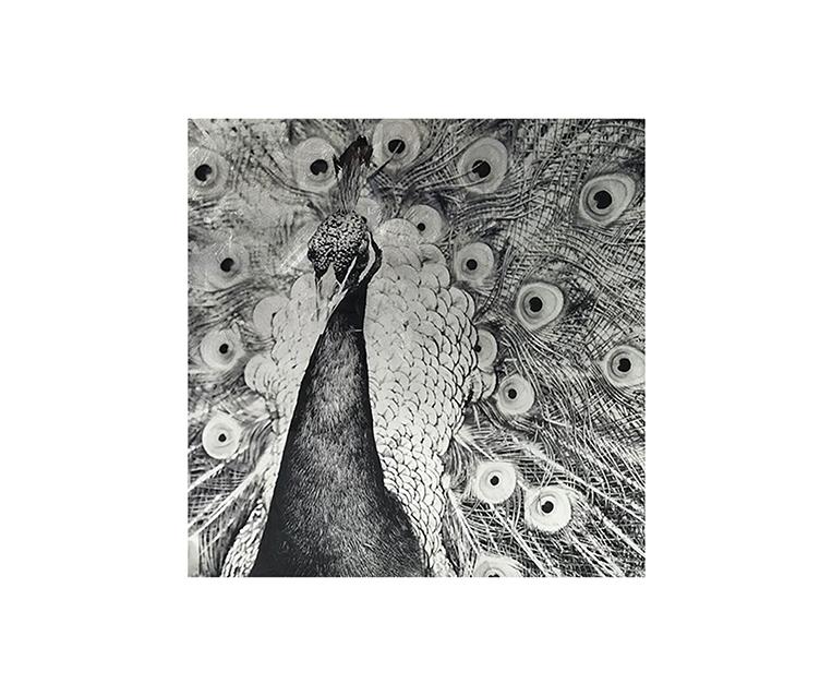 Tranh Silver Peacock